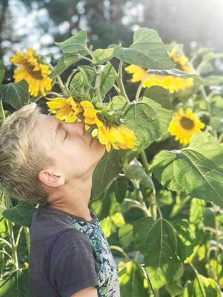 Zhanja aurinkokukka pellossa
